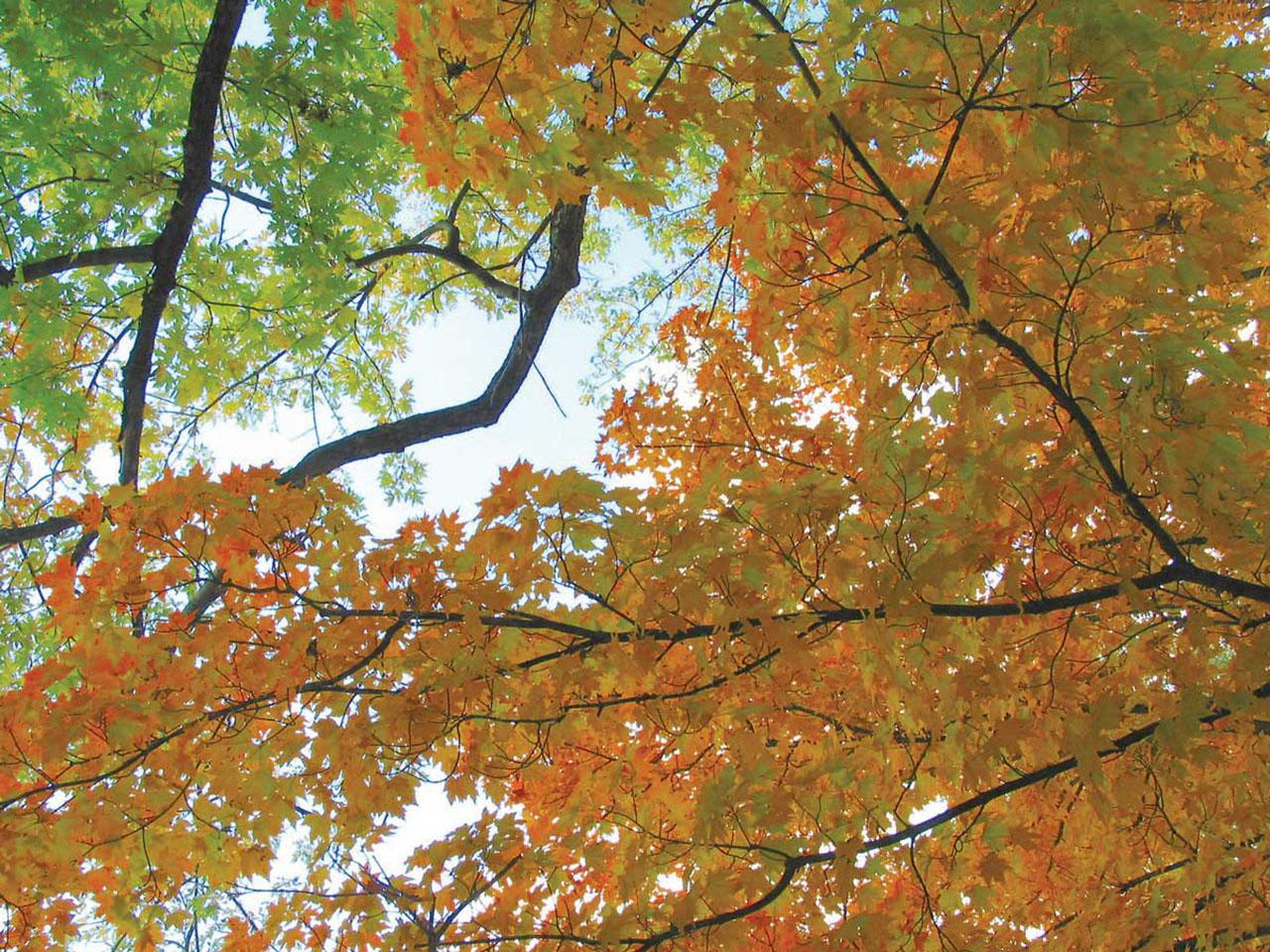 Oct-maples