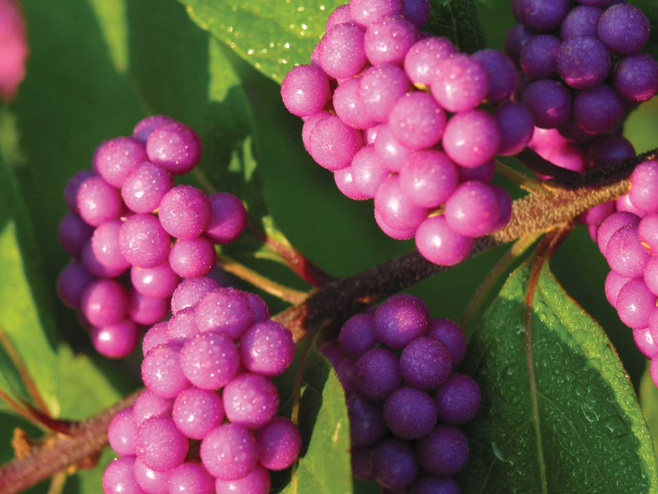 micropurpleberries