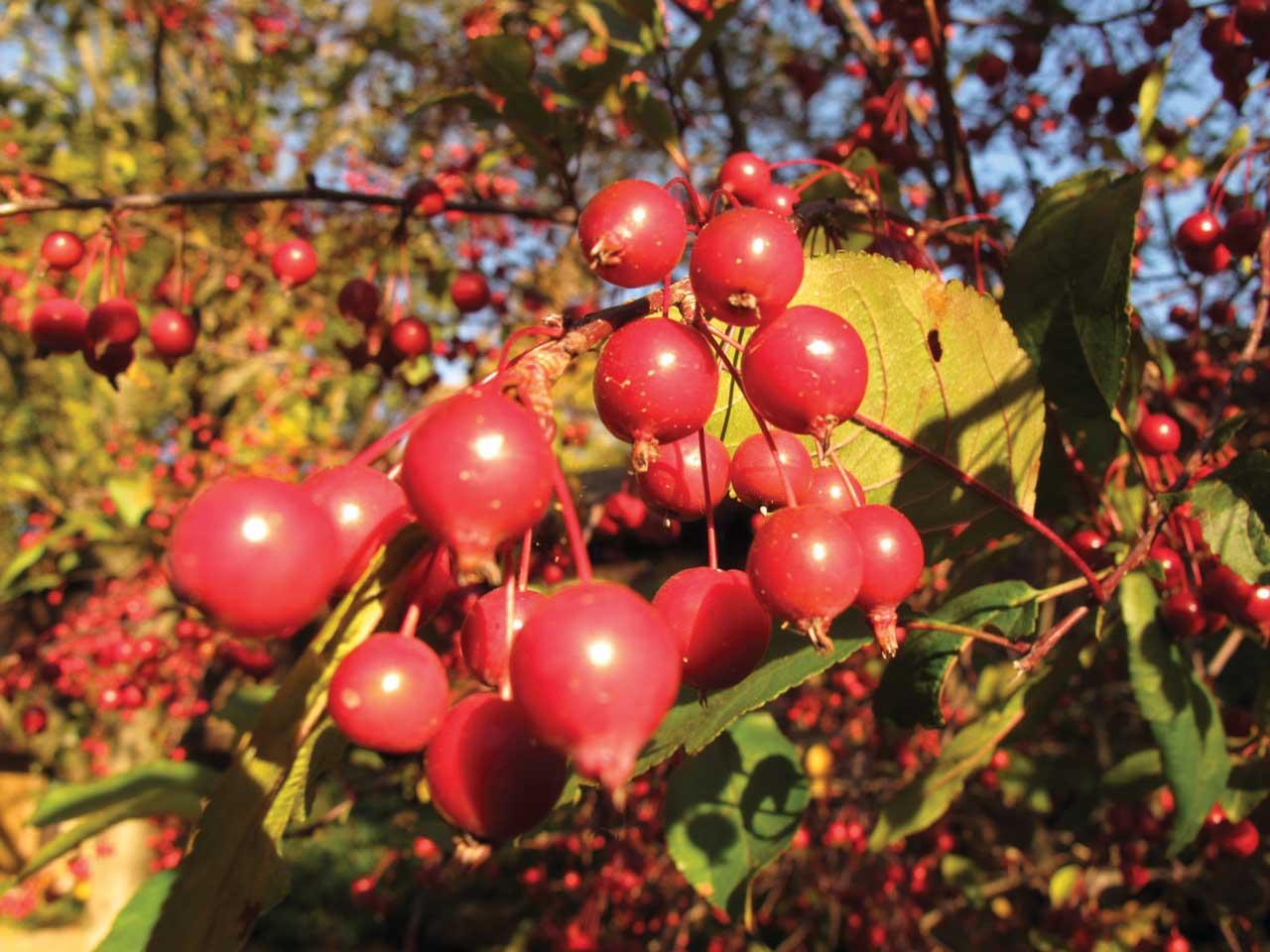 moreberries